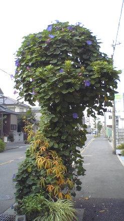 面白い朝顔の木?