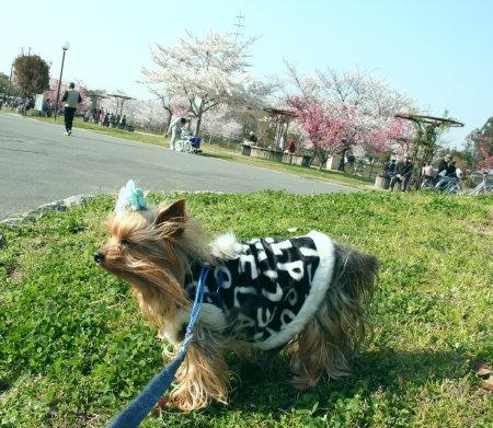 桜満開~~