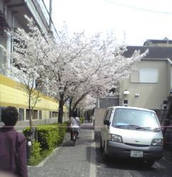 マンションへの道の桜