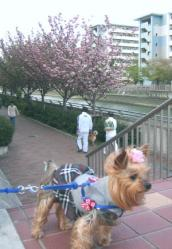 八重桜とお散歩