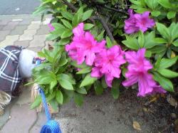 ここのサツキの花、デカイね♪