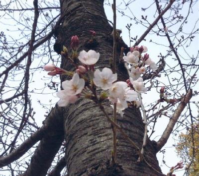 他の桜の木