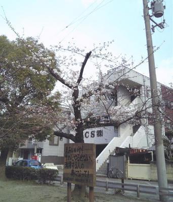咲くのが早い桜の木