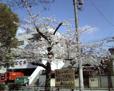 公園の満開の桜