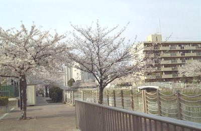 運河沿いは桜オンパレード