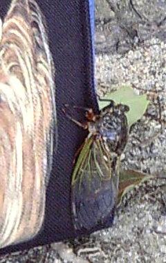 お散歩バッグにつかまっている蝉