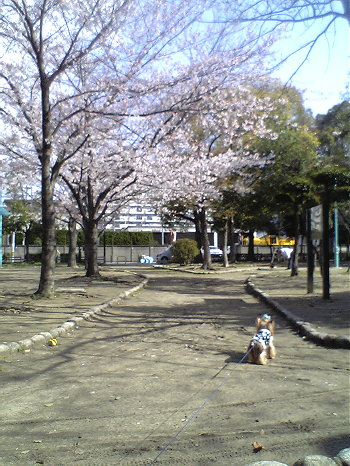 今日の公園の桜