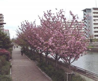 遊歩道の八重桜並木