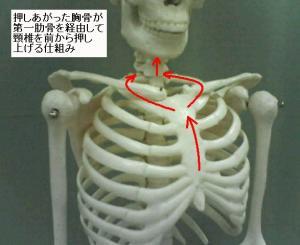 胸骨が第一肋骨を経由して頸椎を押し上げる