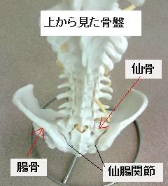上から見た骨盤