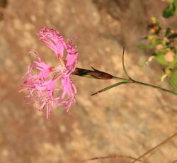 ピンクの花2