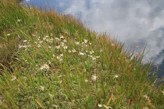 チングルマと池