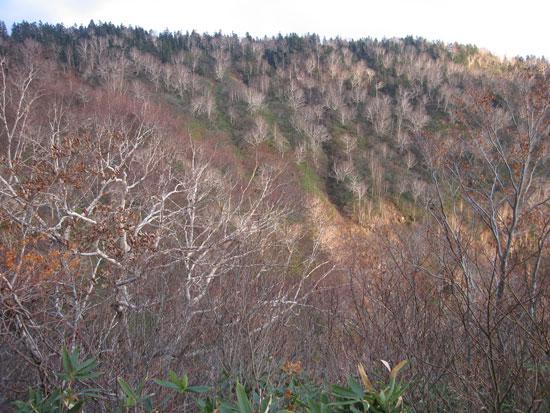 スッカリ葉のない森の木々