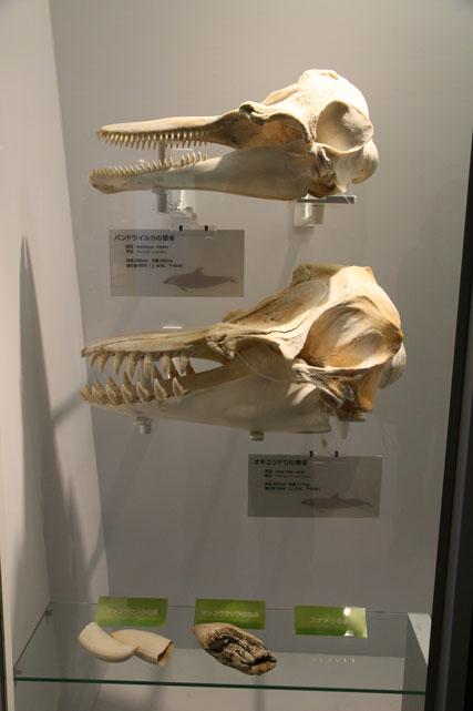 イルカの頭