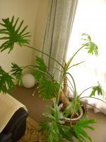緑の同居人 その1:セローム 通称セロリ