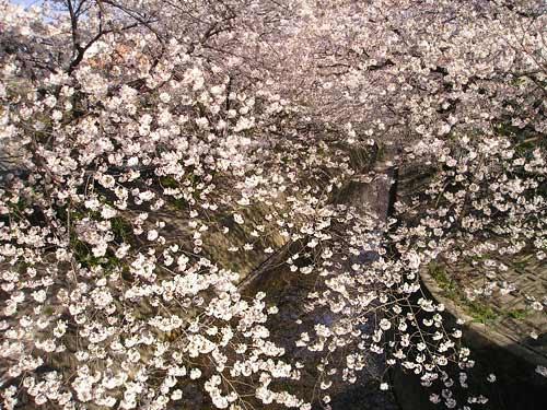 山崎川(昭和区 川原小学校付近)