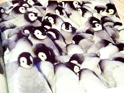 雛ペンギン