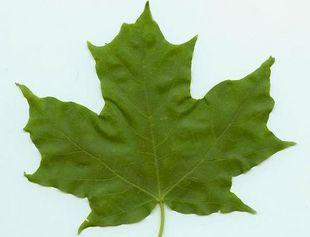 メイプルの葉っぱ。