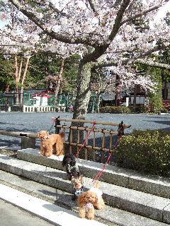 桜とパチリ
