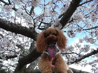 桜とココたん