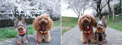 桜とココリン