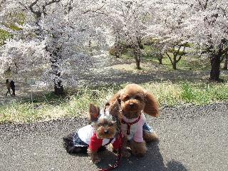 満開の桜をバックに