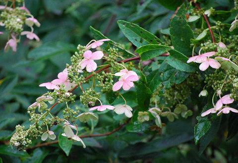秋のノリウツギの花