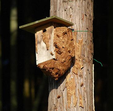 大きくなった蜂の巣