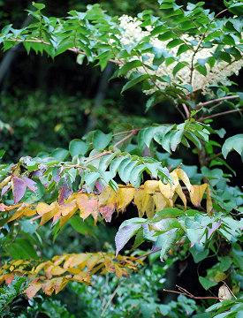 タラノキの紅葉