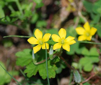 田んぼのあぜの黄色い花
