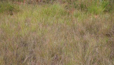 庄の沢湿地の一面のウメバチソウ