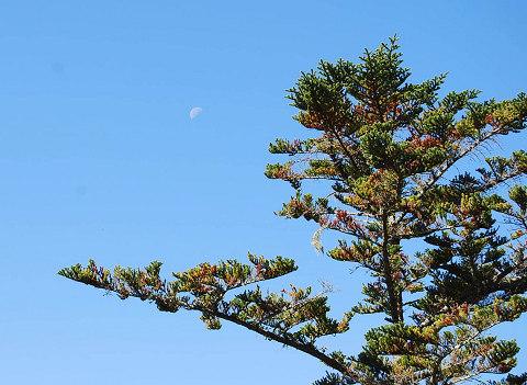 シラビソの木に月