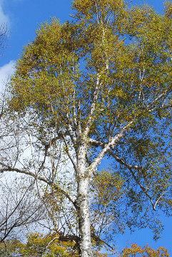 シラカバの巨木