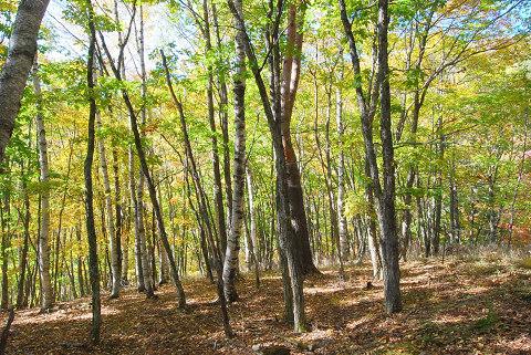シラカバ林の風景