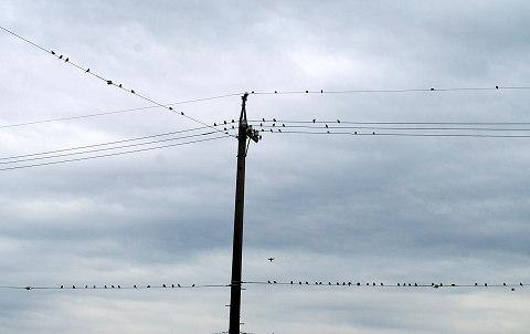 電線に止まった無数のスズメ