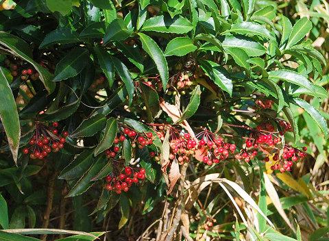 マンリョウの赤い実