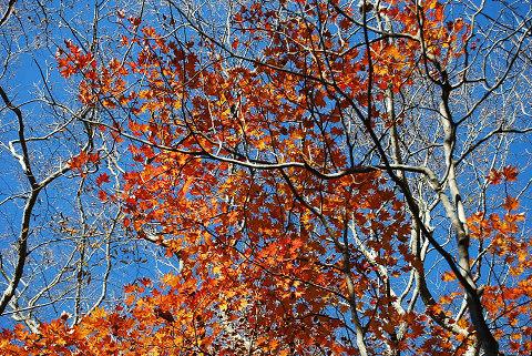 カエデの紅葉が
