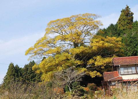 エノキの巨木が紅葉