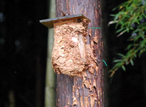 崩れたキイロスズメバチの巣