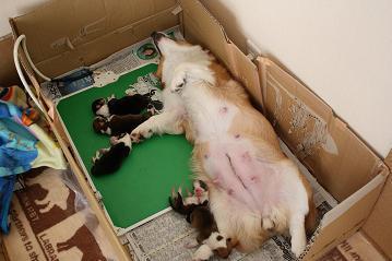 きららちゃん出産2