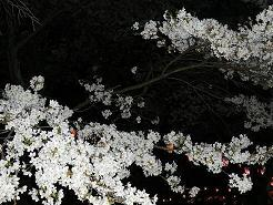 夜桜 022