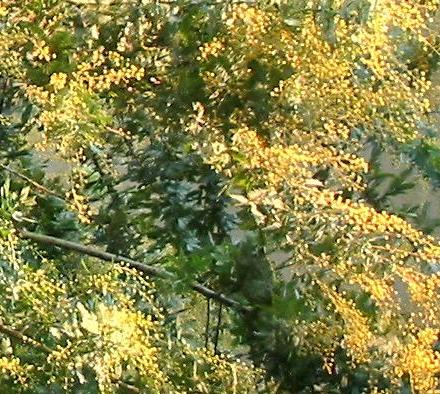 ミモザの花2