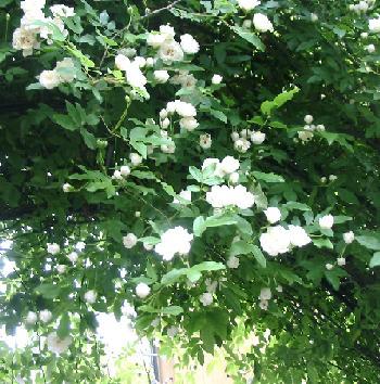 モッコウ薔薇 花