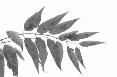「紋 leaf」
