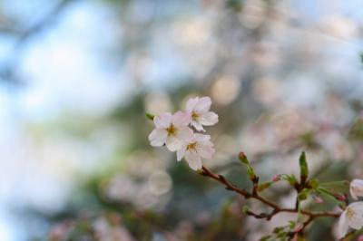 「桜開花」
