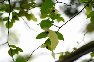 「ハンカチの木」