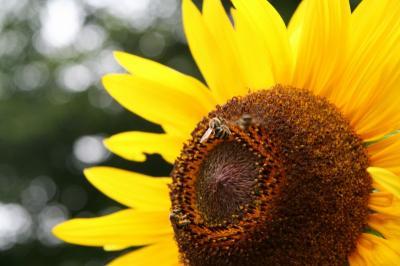 ヒマワリと蜂