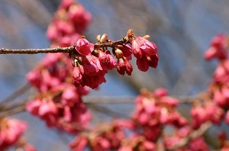 これも桜ですよ。