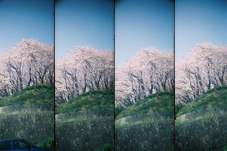 去年の桜。
