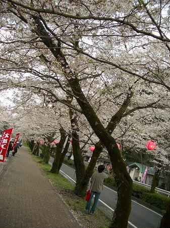家山の桜トンネル。